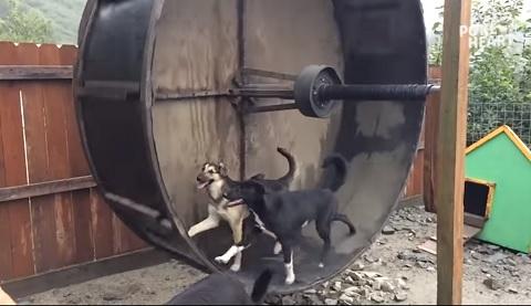 ハムスターだけじゃなかった、イヌも回し車好きだったことが判明した動画!