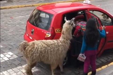 アルパカがタクシーに乗って、いざ何処へ?