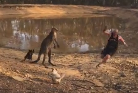 マッチョなカンガルーに喧嘩で負けた男性を犬が助けにいく動画!!