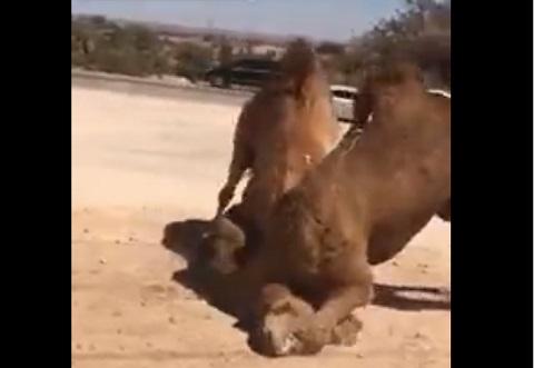 ラクダのマジ喧嘩している動画をはじめてみた!!w